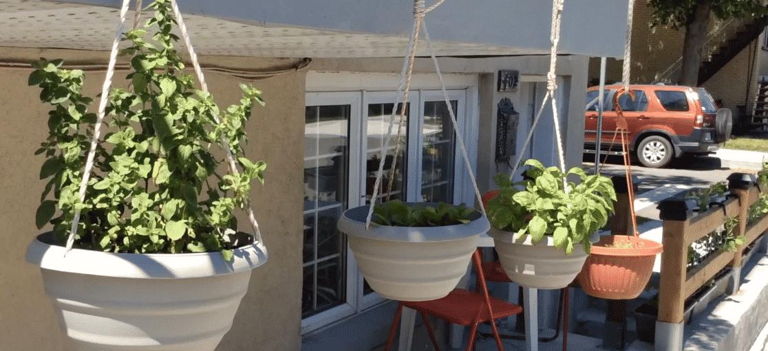 origan-basilique-pot suspendu-jardin urbain