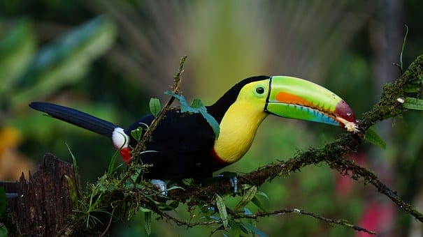 toucan, costa rica, tropical
